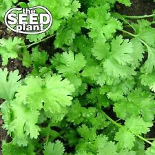 Cilantro Seeds - 50 SEEDS-SAME DAY SHIPPING