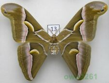 13.Samia cynthia walker (C. & R. Felder, 1862) male ex. ovo China 120mm