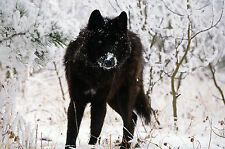 Framed Print - Wild Black Wolf Hunting in the Snow (Picture Poster Animal Art)