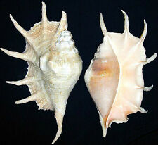 GIANT LAMBIS TRUNCATA Spider Conch Seashell Approx. 10""