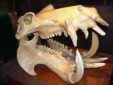 Photo.  2000s.  Hippo Skull