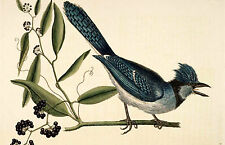 Framed Vintage Style Print – The Crested Jay (Antique Bird Animal Picture Art)