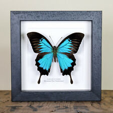 Mountain Blue Swallowtail in Box Frame (Papilio Ulysses)  insect taxidermy