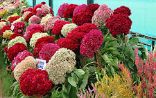 Flower seeds - Cockscomb Jewel Box  - Pack of 50 seeds