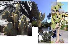 ☼ Schöne Ohren mit Stacheln frostharte Baum-Opuntien  ☼ Samen