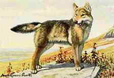 A4 Photo Fuertes Louis Agassiz 1920 Wolf Print Poster