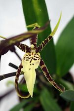 Brassia Toscana, 1 Trieb, knospig, Duft- Orchidee, Orchid, Orchidée