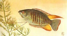 OLD CARD IMAGE: Trichogaster labiosa Thick lipped Gourami à grosses lèvres FISH