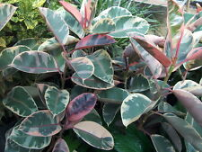"Strawberry & Cream Ruby Rubber Tree Plant - Ficus - 4""  Pot, Easy Care Beauty!"