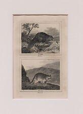 Buffon Antiguo montado impresión c.1800 - grabado-Beaver & Canalón