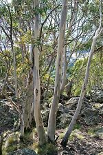 SNOW GUM (Eucalyptus pauciflora) 100 seeds