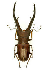 Taxidermy - real papered insects  : Lucanidae : Cyclommatus imperator 70mm