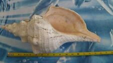 "Conch Sea Shell Large 16"" With Barnacals from Florida USA Nautical Home Decor"