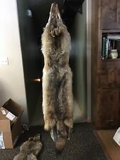 Huge Coyote Pelt Taxidermy Pelts Hides Furs Crafts Coyotes brush Wolf Skin !!!