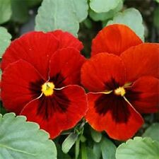 Pansy- Alpenglow- 50 Seeds - 50 % off sale