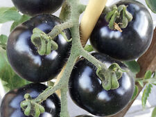 Indigo Rose: A Dark Blue, Purple, Black & Red Tomato - 10 Seeds