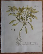 VIETZ: Icones Plantarum Handcolored Print Rose of Jericho - 1800