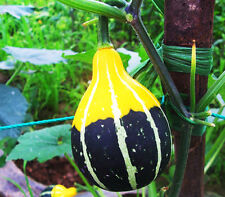 Small Fruit Bottle Gourd Seed 8 Seed Naughty Little Lagenaria Siceraria Hot B094