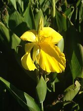 5 Canna Lily yellow with bright green foliage- perennial