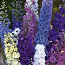 Pack x6 Delphinium Pacific Giants Mix Perennial Garden Plug Plants