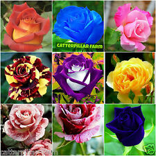 Mixed Rose Flower 20 Seeds Home Garden Flower Seeds,Rarest Variety