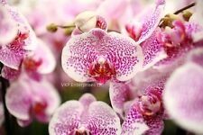20 Phalaenopsis Moth Orchid Flower Seed Harvested 2015 USA Grown Pink White Spot