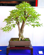 BLACK ELDER - 140 BONSAI SEEDS - Sambucus nigra - Berries