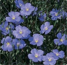 Blue Flax- 200 Seeds - 50 % off sale