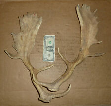 Vintage Pr.Fallow Deer,Old Bone Hardware,Taxidermy,Hunting,Animal Trophy,Tools