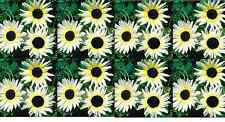 "Sunflower ""Italian white"" Helianthus debilis.  15 Seeds-Rare"
