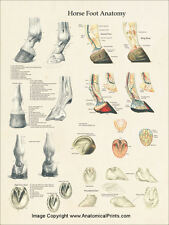 """Horse Foot and Hoof Anatomy Poster 18"""" X 24"""" Wall Chart"""