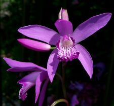 40 graines Orchidée Jacinthe RUSTIQUE (Bletilla Striata)G524 GROUND ORCHID SEEDS