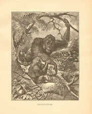 Orang - Outan, by Specht, Zoology, Vintage, 1885 Antique Art Print.
