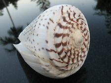 "CONUS LEOPARDUS BROWN AND IVORY 4 3/4 "" 13 OZ SEASHELL / MOLLUSK SHELL GASTROPOD"
