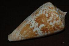 Leptoconus amadis f. castaneofasciata 78mm, seashell, conus, seashells (208)