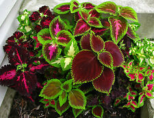 Flower Seeds COLEUS - Improved RAINBOW MIXED -Ornamental Plant -Pack of 20 Seeds