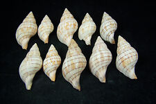 10 Banded Tulip Shells Found On Saint Pete Beach Florida Sea Shells Seashells