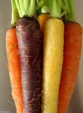 Carrot Seeds - 'Rainbow Mix' ( 1000 SEEDS ) Heirloom Vegetable- non-GMO seed !