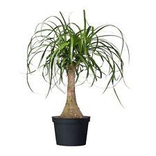 Cola De Caballo Palm - 10 Tropical Seeds-Beaucarnea Recurvata-Elefantes Pie Bonsai