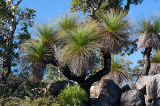Grass Tree (Xanthorrhoea Preissii) 50 Fresh Seeds