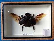 FRAMED EGYPTIAN SCARAB DUNG BEETLE TAXIDERMY INSECT DISPLAY HELIOCOPRIS DOMINUS