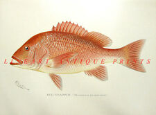 GULF RED SNAPPER ~ Antique Old 1895 Sherman DENTON GAME FISH Art Print RARE!!