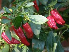 SHISHITO Chili Pepper Seeds  -  Item #2194 - 20+ seeds per packet