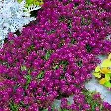 """75+ HEIRLOOM GROUNDCOVER FLOWER SEED - ALYSSUM - """"ORIENTAL NIGHTS"""" VERY FRAGRANT"""