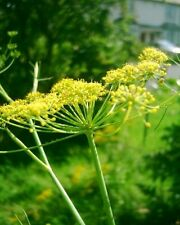 Trevi Fennel live herb seedling plant --winter Hardy herb plant