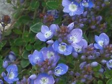 CREEPING BLUE SPEEDWELL * Veronica repens * GROUNDCOVER * SEEDS