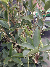 Hoa Mộc- Sweet Olive - Osmanthus fragrans - Already Has Flowers