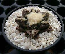 Ariocarpus fissuratus SB 413, Brewster co, Texas OWN ROOT 5 cm, Rare cactus