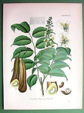 BALSAM OF PERU Toluifera pereirae Medicinal Plant - COLOR Botanical Print