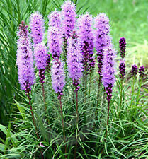 Liatris Floristan Violet Seed Annual Attracts Wildlife Drought Rabbit  Resistant